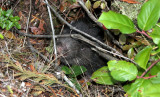 RODENT - MOUNTAIN BEAVER - LAKE FARM TRAILS WA (10).JPG