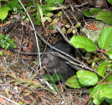 RODENT - MOUNTAIN BEAVER - LAKE FARM TRAILS WA (9).JPG