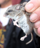 RODENT - MOUSE - DEER MOUSE - PEROMYSCUS MANICULATUS - LAKE FARM TRAILS (6).JPG