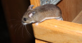 RODENT - MOUSE - NORTH AMERICAN POCKET MOUSE - PEROMYSCUS - LAKE FARM TRAILS - IN OUR CONTAINERS (3).JPG