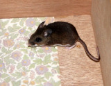 RODENT - MOUSE - NORTH AMERICAN POCKET MOUSE - PEROMYSCUS - LAKE FARM TRAILS - IN OUR CONTAINERS.JPG