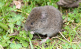 RODENT - VOLE - CREEPING VOLE - MICROTUS OREGONI - LAKE FARM TRAILS WASHINGTON (17).JPG
