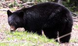 URSID - BEAR - AMERICAN BLACK BEAR - NORTHWESTERN SUBSPECIES - HURRICANE RIDGE ROAD WASHINGTON (11).JPG