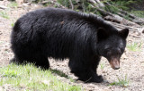 URSID - BEAR - AMERICAN BLACK BEAR - NORTHWESTERN SUBSPECIES - HURRICANE RIDGE ROAD WASHINGTON (16).JPG