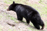 URSID - BEAR - AMERICAN BLACK BEAR - NORTHWESTERN SUBSPECIES - HURRICANE RIDGE ROAD WASHINGTON (37).JPG