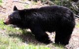 URSID - BEAR - AMERICAN BLACK BEAR - NORTHWESTERN SUBSPECIES - HURRICANE RIDGE ROAD WASHINGTON (8).JPG