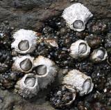 INVERT - MARINE INTERTIDAL - ARTHROPOD - BARNACLE - ACORN BARNACLE - BALANUS GLANDULA - BEACH FOUR TIDE POOLS ONP.JPG