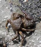 Granular Claw Crab (Oedignathus inermis)