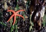 INVERTS - INTERTIDAL - ECHINODERM - SEA STAR - BLOOD STAR - LAKE FARMS (2).jpg
