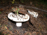 Rusula brevipes 5 'short stalked white russula'.JPG