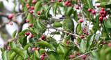 BIRD - BARBET - BLUE-EARED BARBET - MEGALAIMA AUSTRALIS - KAENG KRACHAN NP THAILAND (10).JPG