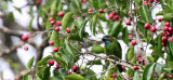 BIRD - BARBET - BLUE-EARED BARBET - MEGALAIMA AUSTRALIS - KAENG KRACHAN NP THAILAND (4).JPG