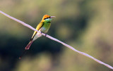 BIRD - BEE-EATER - GREEN BEE-EATER - MEROPS ORIENTALIS - KHAO SAM ROI YOT THAILAND (23).JPG