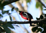 BIRD - BROADBILL - BLACK AND RED BROADBILL - KAENG KRACHAN NP THAILAND (17).JPG