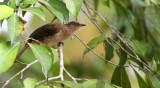 BIRD - BULBUL - RED-EYED BULBUL - PYCNONOTUS BRUNNEUS - KRUNG CHIN NP THAILAND  (3).JPG