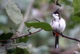 BIRD - BULBUL - RED-WHISKERED BULBUL - CHIANG MAI THAILAND (6).JPG
