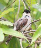 BIRD - BULBUL - SOOTY-HEADED BULBUL - HUAI KHA KHAENG NWS THAILAND (15).JPG