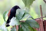 BIRD - COUCAL - LESSER COUCAL - CENTROPUS BENGALENSIS - KOH LANTA THAILAND (5).JPG