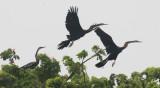 BIRD - DARTER - ORIENTAL DARTER - BUENG BORAPHET THAILAND (18).JPG