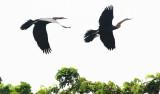 BIRD - DARTER - ORIENTAL DARTER - BUENG BORAPHET THAILAND (22).JPG