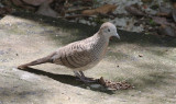 BIRD - DOVE - ZEBRA OR PEACEFULL DOVE - GEOPELIA STRIATA - KOH LANTA THAILAND (5).JPG