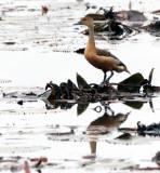 BIRD - DUCK - LESSER WHISTLING DUCK - BUENG BORAPHET THAILAND (3).JPG