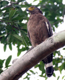 BIRD - EAGLE - CRESTED SERPENT EAGLE - HUAI KHA KHAENG THAILAND (11).JPG