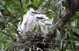 BIRD - EGRET - CATTLE EGRET - BUBULCUS IBIS - NAKHON WETLANDS THAILAND (19).JPG