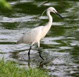 BIRD - EGRET - LITTLE EGRET - EGRETTA GAR - LUMPINI PARK THAILAND (11).JPG