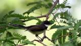 BIRD - FANTAIL - PIED FANTAIL - LUMPINI PARK THAILAND (4).JPG