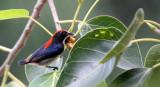 BIRD - FLOWERPECKER - SCARLET-BACKED FLOWERPECKER - DICAEUM CRUENTATUM - KOH LANTA THAILAND (14).JPG
