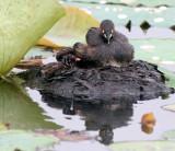 BIRD - GREBE - LITTLE GREBE - BUENG BORAPHET THAILAND (46).JPG