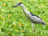 BIRD - HERON - BLACK-CROWNED NIGHT HERON - NAKHON WETLANDS THAILAND (23).JPG