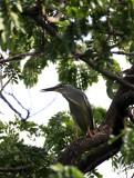 BIRD - HERON - LITTLE HERON - BUTORIDES STRIATUS - LUMPINI PARK THAILAND (9).JPG