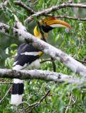 BIRD - HORNBILL - GREAT HORNBILL -  KAENG KRACHAN NP THAILAND (19).JPG
