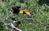 BIRD - HORNBILL - GREAT HORNBILL -  KAENG KRACHAN NP THAILAND (2).JPG