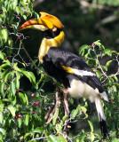 BIRD - HORNBILL - GREAT HORNBILL - KAENG KRACHAN NP THAILAND (10).JPG