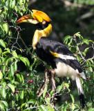 BIRD - HORNBILL - GREAT HORNBILL - KAENG KRACHAN NP THAILAND (11).JPG