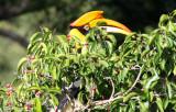 BIRD - HORNBILL - GREAT HORNBILL - KAENG KRACHAN NP THAILAND (16).JPG