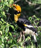BIRD - HORNBILL - GREAT HORNBILL - KAENG KRACHAN NP THAILAND (6).JPG