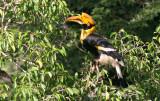 BIRD - HORNBILL - GREAT HORNBILL - SOMS - KAENG KRACHAN NP THAILAND (5).JPG