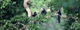 BIRD - HORNBILL - ORIENTAL-PIED HORNBILL - KAENG KRACHAN NP THAILAND (11).JPG