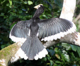 BIRD - HORNBILL - ORIENTAL-PIED HORNBILL - KAENG KRACHAN NP THAILAND (56).JPG