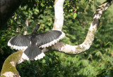 BIRD - HORNBILL - ORIENTAL-PIED HORNBILL - SOMS - KAENG KRACHAN NP THAILAND (11).JPG