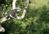 BIRD - HORNBILL - ORIENTAL-PIED HORNBILL - SOMS - KAENG KRACHAN NP THAILAND (13).JPG