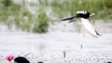 BIRD - JACANA - PHEASANT-TAILED JACANA - BUENG BORAPHET THAILAND (56).JPG