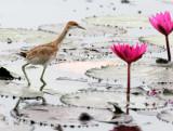 BIRD - JACANA - PHEASANT-TAILED JACANA - BUENG BORAPHET THAILAND (68).JPG