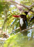 BIRD - KINGFISHER - WHITE-THROATED KINGFISHER - KHAO SAM ROI YOT THAILAND (19).JPG