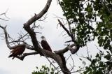 BIRD - KITE - BRAHMINY KITE - KOH LANTA THAILAND (43).JPG