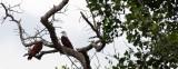 BIRD - KITE - BRAHMINY KITE - KOH LANTA THAILAND (44).JPG